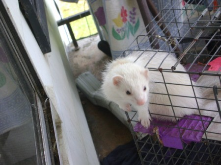 A white ferret coming out of the wire cage.