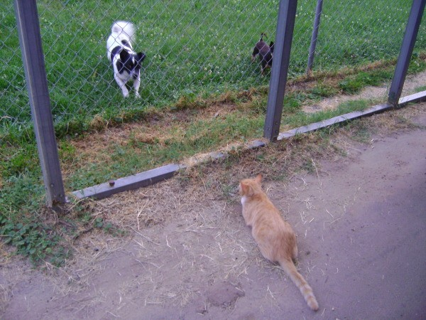 Orange tabby staring at 2 dogs on other side of wire fence