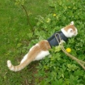 An orange and white cat on a harness outside.