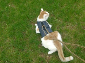 A orange and white cat in a harness on grass.