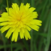 A dandelion outside in a grassy area.