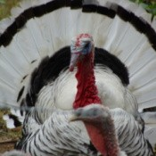 Gobble the turkey