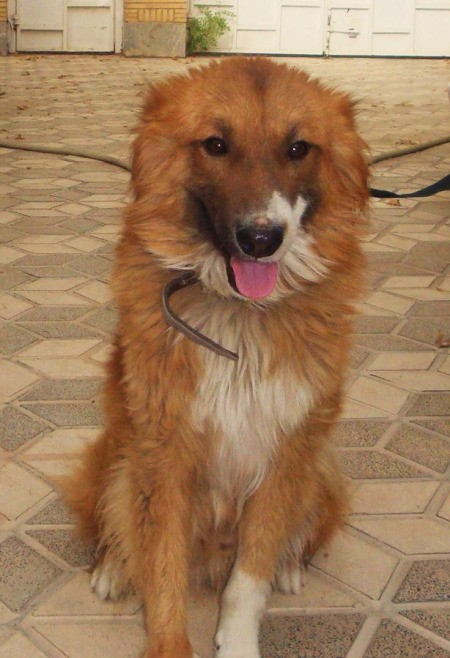 Large reddish brown dog with white on nose, chin, chest and feet.