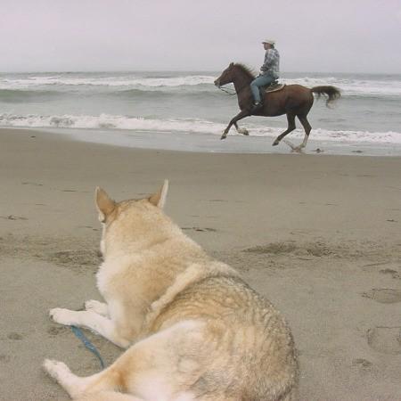 Stryker, a wolf-husky dog, watching a horse on the beach..