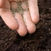 Fingers full of fine seeds over dark soil.