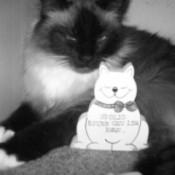 LuLuBelle Cat Birman mix