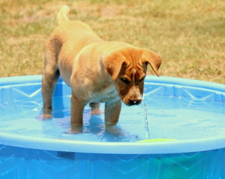 A yellow dog in a blue wading pool.