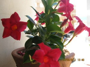 Plant with red trumpet shaped flowers and dark green leaves