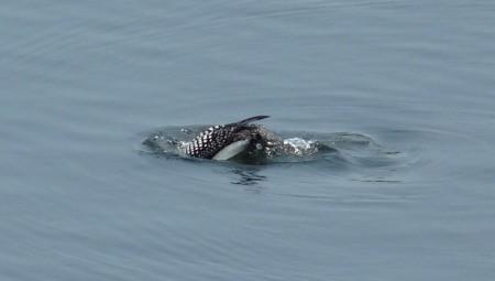Loon Diving
