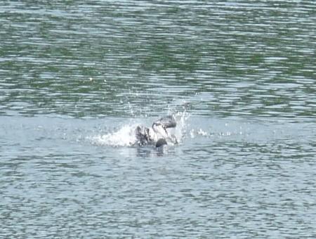 Loon Splashing in Water