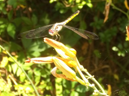 Dragonfly resting on daylily