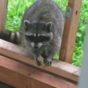 Sparklette Raccoon