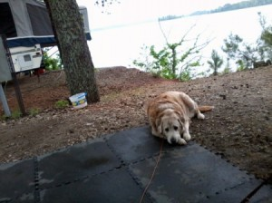 A golden dog is camping by a lake.