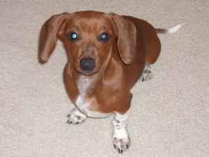 A brown mini dachshund on a cream colored carpet.