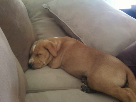 Tan pup with white spot on forehead and nose sleeping on couch
