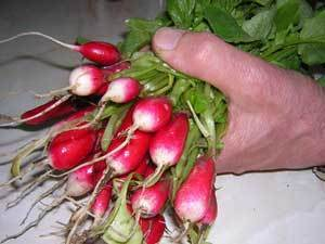 hand holding a bunch of radishes