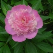 A pink peony surrounded by green leaves.