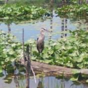 A blue heron fishing in Beaver Marsh in Ohio.