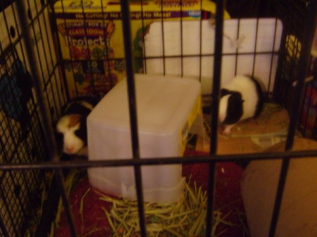 Two guinea pigs in a black cage.
