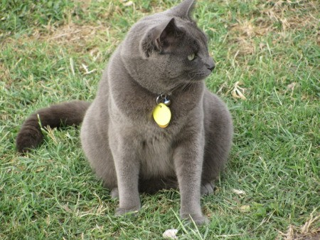 A grey shorthaired cat sitting on grass.