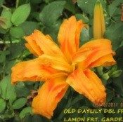 A daylily in bloom.