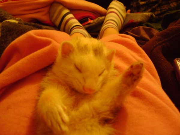 A white ferret on someone's lap contentedly.