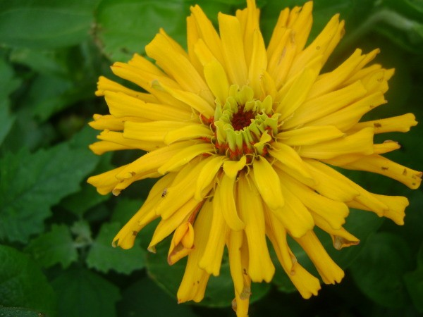 Yellow Zinna