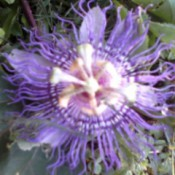 closeup of passion flower