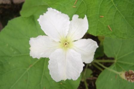 White Ruffled Clematis
