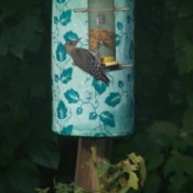 A woodpecker at a bird feeder
