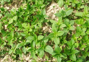 Mint Growing in a Garden