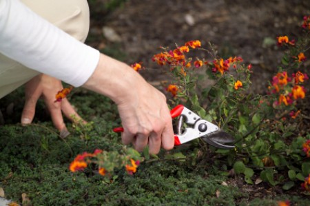 Woman trimming low plants with gardening shears