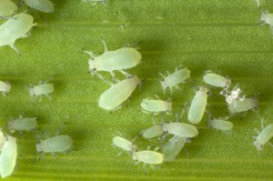 20 white bugs on green leaf