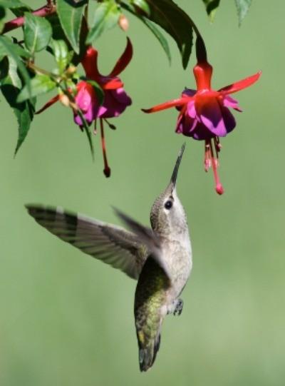 Hummingbird Feeding from Flower