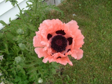Pretty pink poppy in a garden