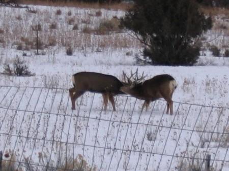 Two mule deer sparring in the snowy field
