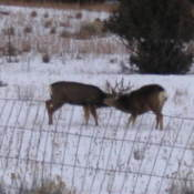 Two mule deer sparring in the snowy field