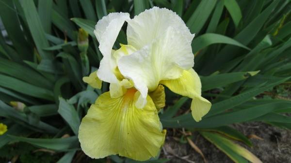 garden  yellow iris surprise