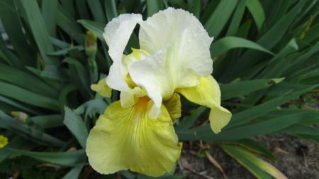 White and Yellow Bearded Iris
