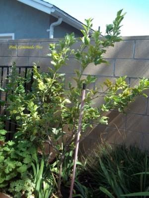 Small lemon tree against block fence