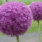 Beautiful Allium