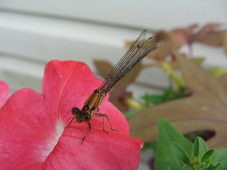 Little Dragonfly on a flower