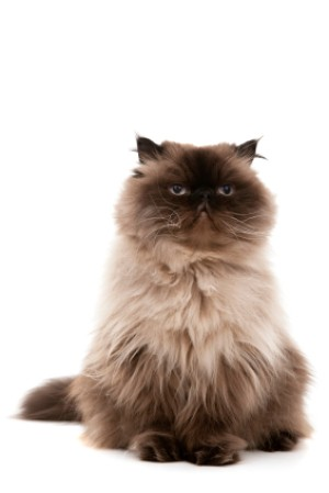 Photo of a Persian cat sitting.