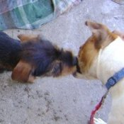 2 small dogs kissing