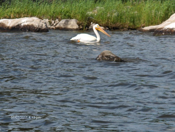 Pelican on the lake.