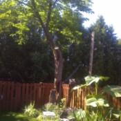 Horse chestnut tree in corner of garden