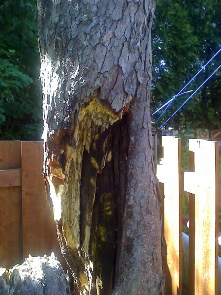 Closeup photo of rotting horse chestnut tree