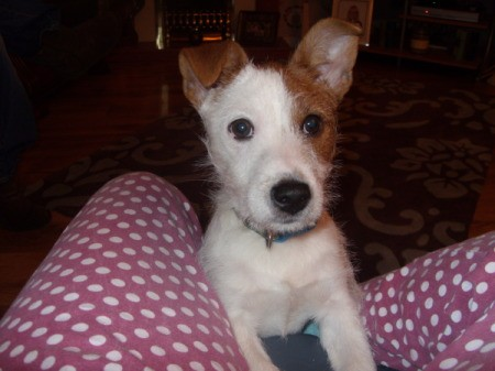 Jack Russel with stand up ears on red and white print bed