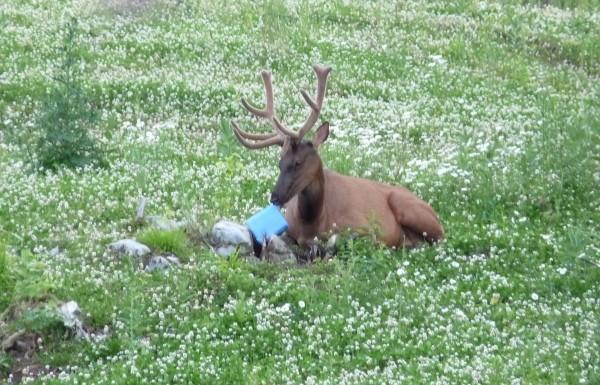 Elk sitting with salt block in meadow