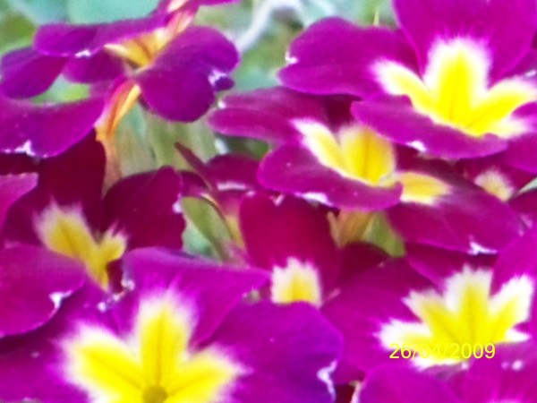 Magenta and yellow impatients.